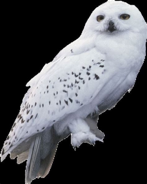 Snowy Owl Hedwig Papercraft By - thechosenone 2 draco malfoy v s hedwig harry