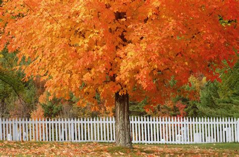 12 most colorful trees for fall