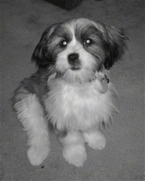 shih tzu mix puppies for sale in ohio shih tzu mix puppies for sale