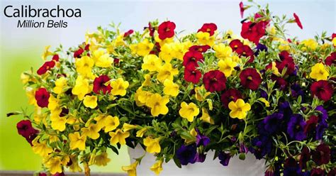 how to grow and care for calibrachoa million bells