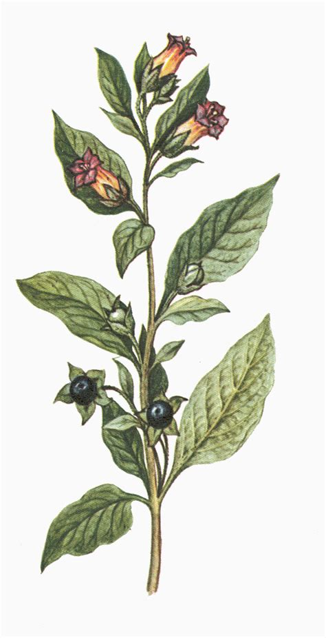 belladonna atropa belladonna a text book of materia