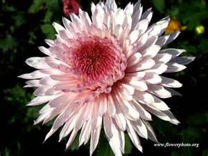 white and purple mum flower photo