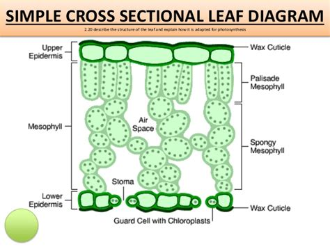 cross sectional diagram igcse biology edexcel 2 17 2 32