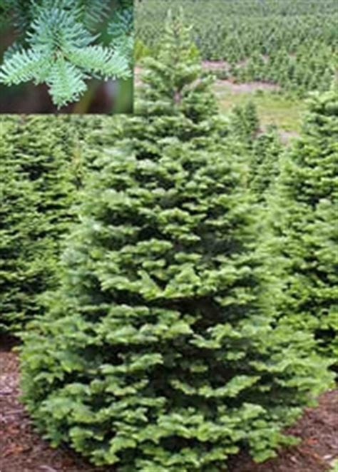 noble fir tree fresh cut christmas tree plymouth nursery