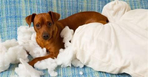 how to stop puppy from chewing everything pet behavior behavior problems cat behavior changes petpremium