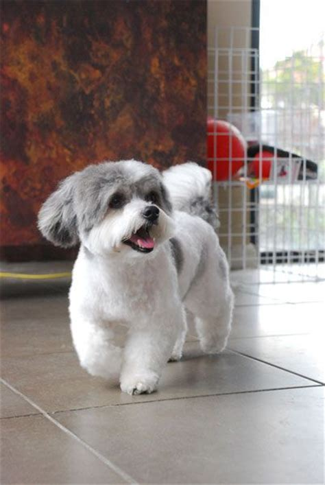shih tzu bichon haircuts the world s catalog of ideas