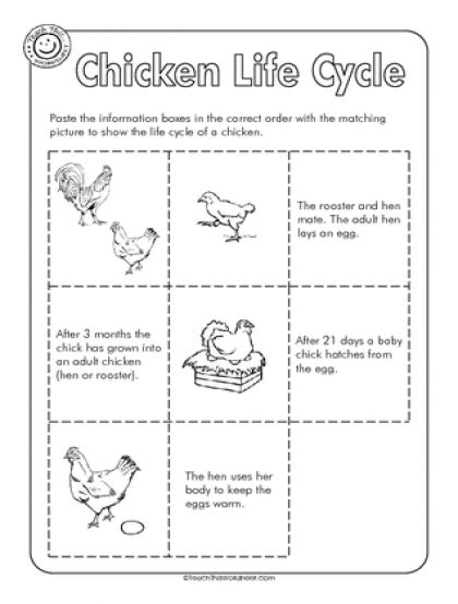 Cycle Of A Chicken Worksheet by Teach This Worksheets Create And Customise Your Own