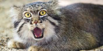 why the pallas cat should become your new favorite animal