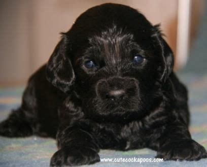 cockapoo puppies for sale in wi cockapoo breeders のおすすめアイデア 25 件以上