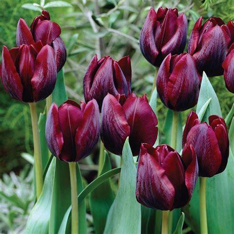 Home Depot Home Decor martha stewart living tulip ronaldo dormant bulbs 50 pack