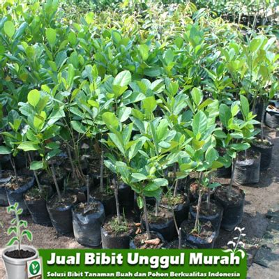 Jual Bibit Anggur Import Di Surabaya jual bibit nangka meme unggul agro bibit id