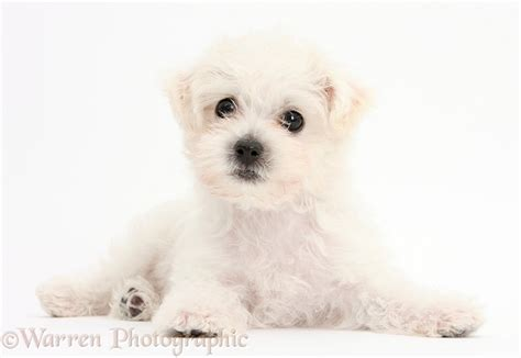 white yorkie puppies white bichon x yorkie puppy photo wp38681