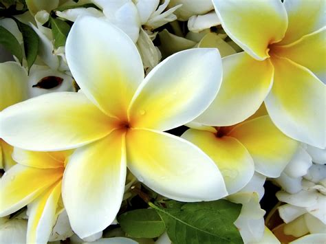 Hawaiian Flowers Wallpapers Flowers Hawaiian Flower Backgrounds