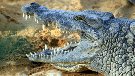 what is the scientific name of what is the scientific name for a crocodile reference