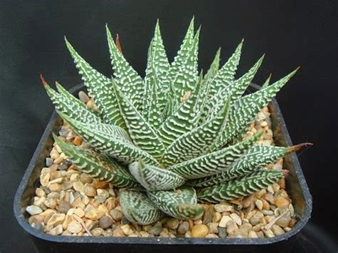 aneka tanaman hias  jenis kaktus tanaman