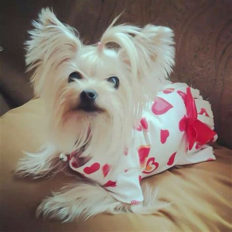 platinum blonde yorkie 17 best images about quot yorkie on pinterest too cute