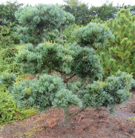 japanische möbel zwerg m 228 dchenkiefer pinus pavifolia negishi h 100