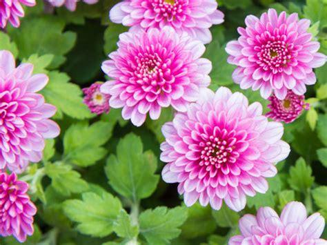 fiori rosa pianta fiori rosa decorare la tua casa