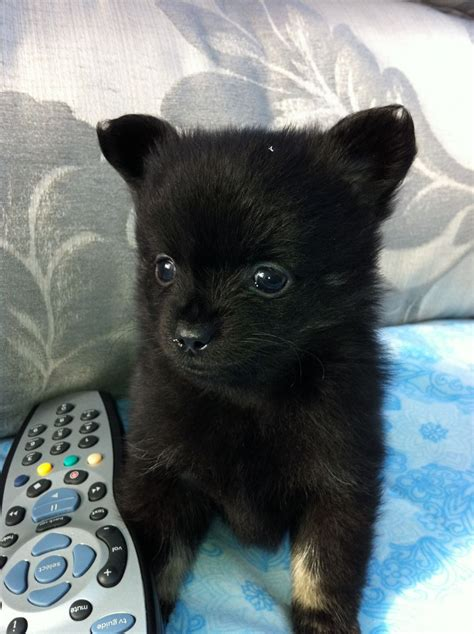haired pomeranian puppies for sale chihuahua and pomeranian puppies for sale breeds picture