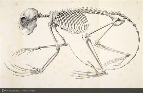 aye aye skeleton