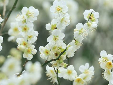 46 Attractive Cherry Blossom Flowers Golfian Com Cherry Blossom Flower