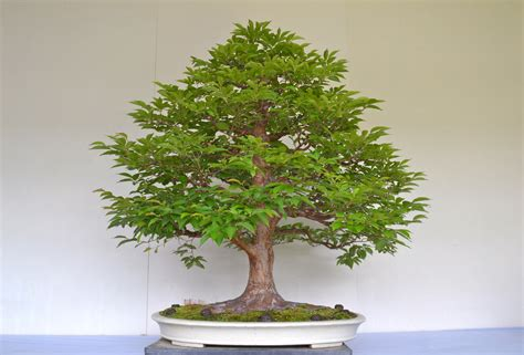 where can i buy a white tree oak bonsai trees