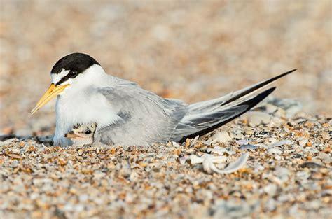 least tern audubon field guide