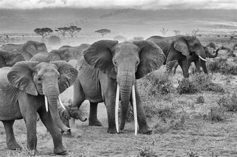 Safira Whity black and white moments imagesafaris