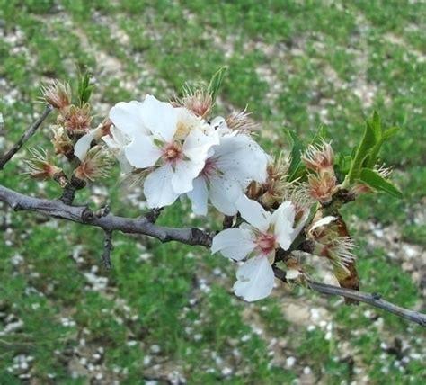mandorlo da fiore fiore di mandorlo alberi da frutta fiore di mandorlo
