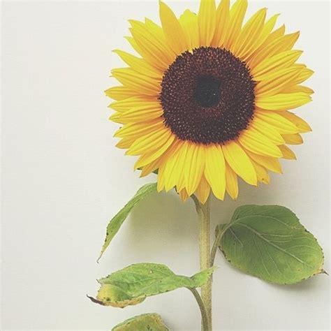 wallpaper bunga tumbrl sunflower background tumblr