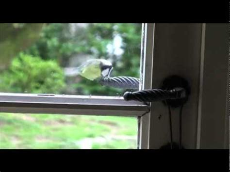 crazy bird tapping window youtube