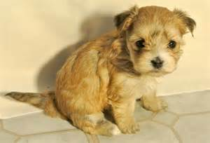 Maltese and shih tzu hybrid or designer dog