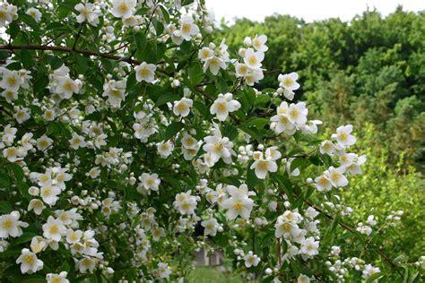 Click And Grow Garden by False Jasmine Philadelphus Words And Herbs