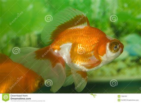 colorful goldfish colorful goldfish stock image image 7355761