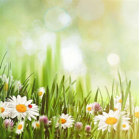 sfondi con i fiori sfondi naturali di bellezza con i fiori della camomilla