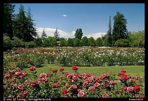 picturephoto san jose rose garden san jose california usa