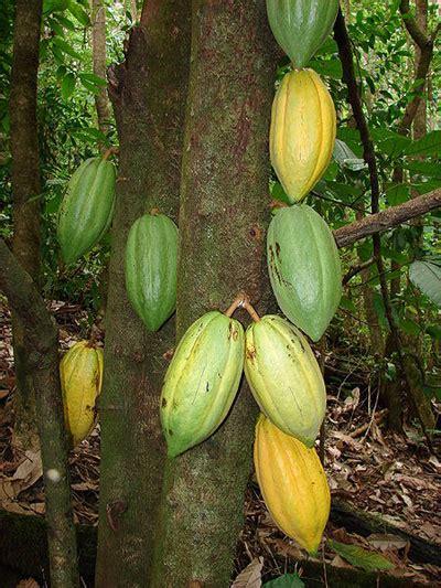cocoa tree fruit how to make chocolate truffles