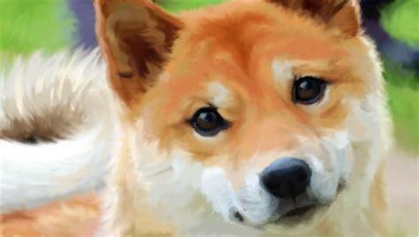 shiba inu puppies wisconsin j a k kennel shiba inu puppies for sale breeder in wisconsin