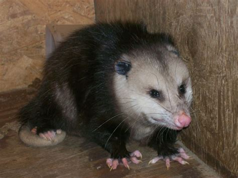 how to get rid of possums in your backyard types of possums