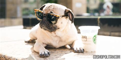doug the pug college you must see this pug do a spot on harry styles impression