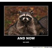 Excellent Raccoon Meme  Old Board Of Funnies