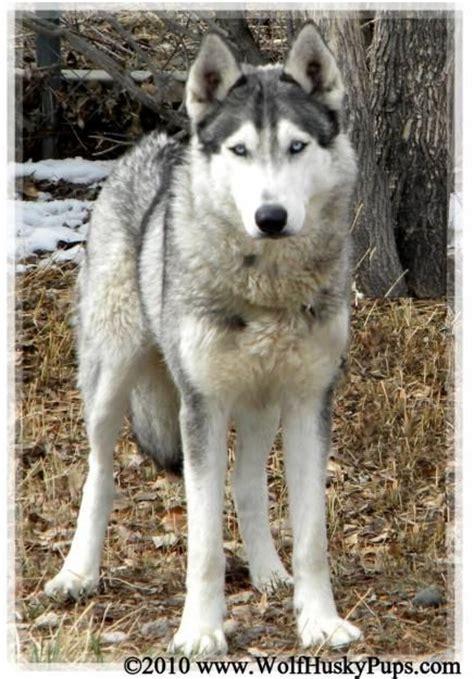 wolf husky mix puppies best 25 husky wolf mix ideas on
