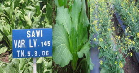 Pepaya California Hibrida budidaya caisin tanam sayuran