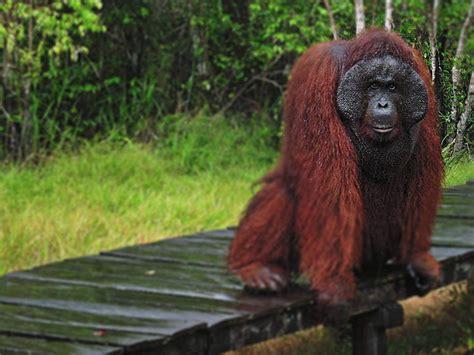 Paket Kltserum Kalimantan paket wisata tanjung orang utan kalimantan indonesia adventure