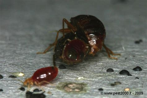 national bed bug registry bed bug life cycle national bed bug registry database