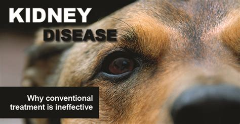 kidney disease in dogs puppy pet care on your fleas and homeopathy