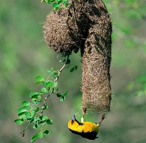 nature blows my mind weaverbirds craft amazing nests treehugger