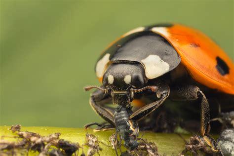 do ants eat aphids seven spot ladybird aphids 1