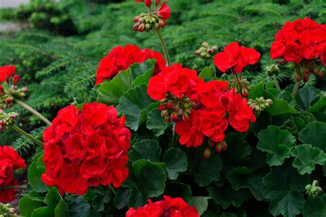 red geranium flower wallpaper