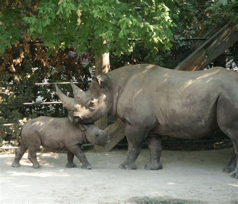 black rhino black rhinoceros animal wildlife